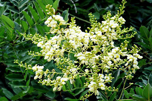 Cây hoa hòe và những tác dụng của hoa hòe